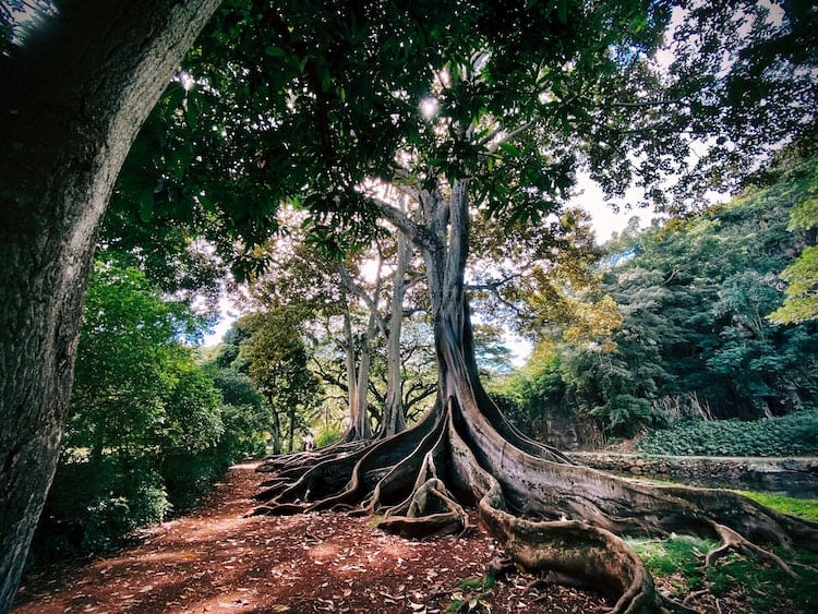 A tree with large roots.